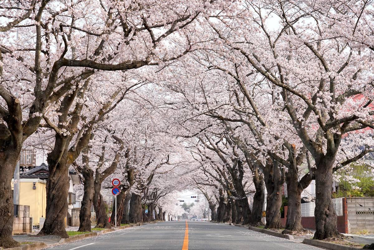 浜通りの桜