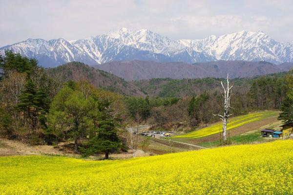 大町 中山高原 菜の花